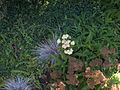 H20130909-9810—Achillea millefolium, Festuca idahoensis, Clinopodium douglasii—Katherine Greenberg (9780646145).jpg