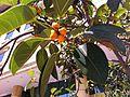 HKCL CWB tree 高山榕 Ficus altissima Oct-2013 006.JPG