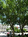 HK 屯門 Tuen Mun Hospital 青麟路 Tsing Lun Road trees July 2016 DSC.jpg
