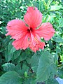 HK Shatin Tai Chung Kiu Road red flower Sept-2012.JPG