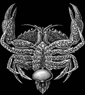 Eine von Sacculina befallene Krabbe mit typischem sackartigem Auswuchs Ernst Haeckel's Kunstformen der Natur, 1904.