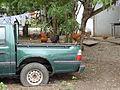 Hahn und Hennen Santa Elena Province Ecuador57.jpg