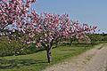 Hakodate Goryōkaku Park Sakura May 2016 7.jpg