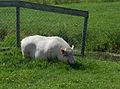 Hangbuikzwijn in Giessenburg.jpg