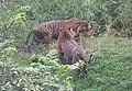 Harimau Sumatra.jpg