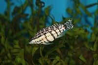 Harlequin Bass (Serranus tigrinus).jpg