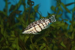 Harlequin Bass (Serranus tigrinus)