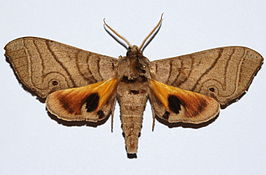 Hawk Moth (Gynoeryx meander) (8561776167).jpg