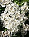 Hawthorn (Crataegus monogyna) - geograph.org.uk - 472881.jpg