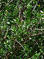 Hedycarya arborea 1.jpg