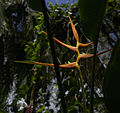 Heliconia latispatha Belize Zoo.jpg