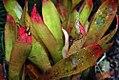 Heliconia psittacorum Sassy 0zz.jpg