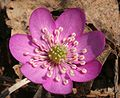 Hepatica nobilis ENBLA03.jpeg