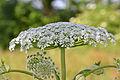 Heracleum mantegazzianum 07.JPG