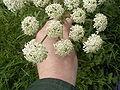 Heracleum sphondylium bloemhoofd.jpg