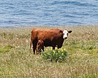 Hereford cattle Big Sur May 2011 002.jpg