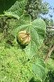 Herissantia crispa - Bladder Mallow at Theni (12).jpg