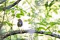 Hermit thrush (26367952591).jpg