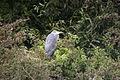Heron on Island in Boxer's Lake, Enfield - geograph.org.uk - 652665.jpg