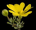 Hibbertia gracilipes - Flickr - Kevin Thiele (1).jpg