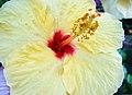Hibiscus Flower-Taormina-Sicilia-Italy-Castielli CC0 HQ - panoramio - gnuckx.jpg