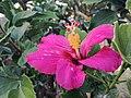 Hibiscus fragilis Mauritius 1.jpg