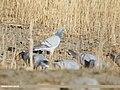 Hill Pigeon (Columba rupestris) (48553265786).jpg