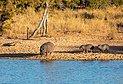 Hipopótamos comunes (Hippopotamus amphibius), parque nacional Kruger, Sudáfrica, 2018-07-24, DD 05.jpg