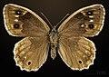 Hipparchia statilinus MHNT CUT 2013 3 31 Fontanes female dorsal.jpg