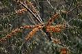 Hippophae rhamnoides (Sea Buckthorn), Sevan Botanical Garden2.jpg