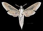 Hippotion celerio MHNT CUT 2010 0 73 Malaysia female ventral.jpg