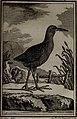 Histoire naturelle des oiseaux (1781) (14728241906).jpg