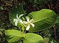 Holarrhena pubescens 04.JPG