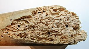 Woodboring beetle - Fragment of a broomstick affected by woodworm