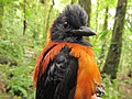 Hooded Pitohui 4.jpg