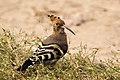 Hoopoe Bird (92105981).jpeg