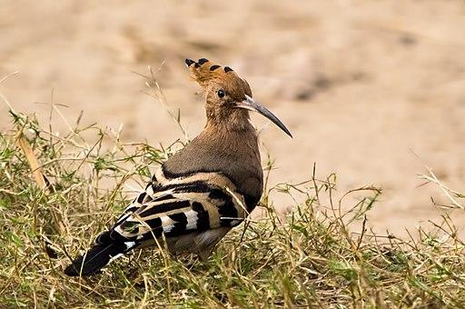 Hoopoe Bird (92105981)