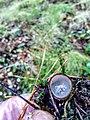 Humaria hemisphaerica 95761190.jpg