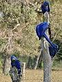 Hyacinth Macaws (Anodorhynchus hyacinthinus) (31415183781).jpg