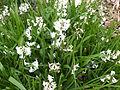 Hyacinthus orientalis in Jardin des Plantes.JPG