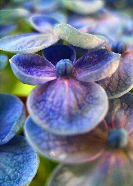 Hydrangea petals, Blue Hydrangea