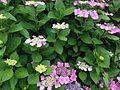 Hydrangea macrophylla in Hakozaki Campus, Kyushu University.JPG