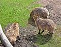 Hydrochoerus hydrochaeris -Detroit Zoo, Michigan, USA-8a.jpg