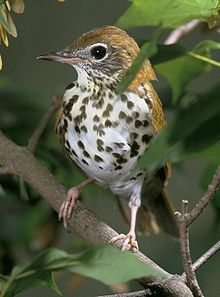 A bird with a brown back and speckles on a white chest sits facing forward on a branch in the underbrush