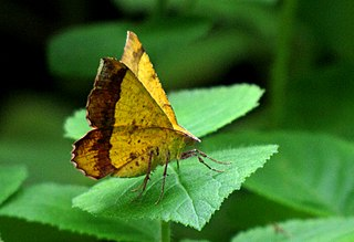 <i>Hyperythra lutea</i> species of insect