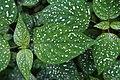 Hypoestes phyllostachya 0220.jpg