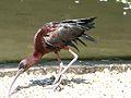 Ibis falcinelle Argelès-Gazost parc animalier (1).JPG