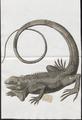 Iguana tuberculata - 1700-1880 - Print - Iconographia Zoologica - Special Collections University of Amsterdam - UBA01 IZ12800049.tif