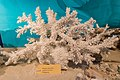 Illegall Importierte Korallen (193364991).jpeg