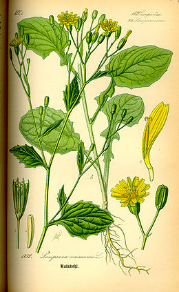 Illustration Lapsana communis0.jpg
